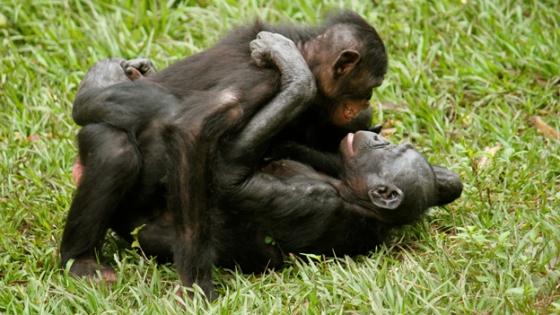 Female bonobos lesbian